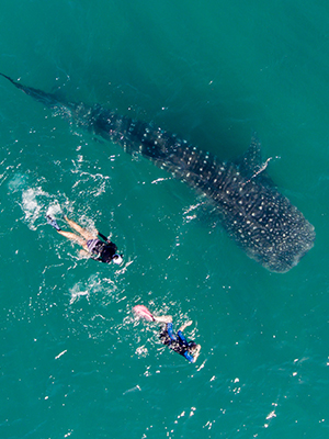 2 Snorklers swimming alongside a whale shark